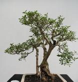 Bonsai Neige de juin, Serissa foetida, no. 7862