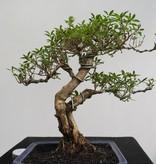 Bonsai Neige de juin, Serissa foetida, no. 7863