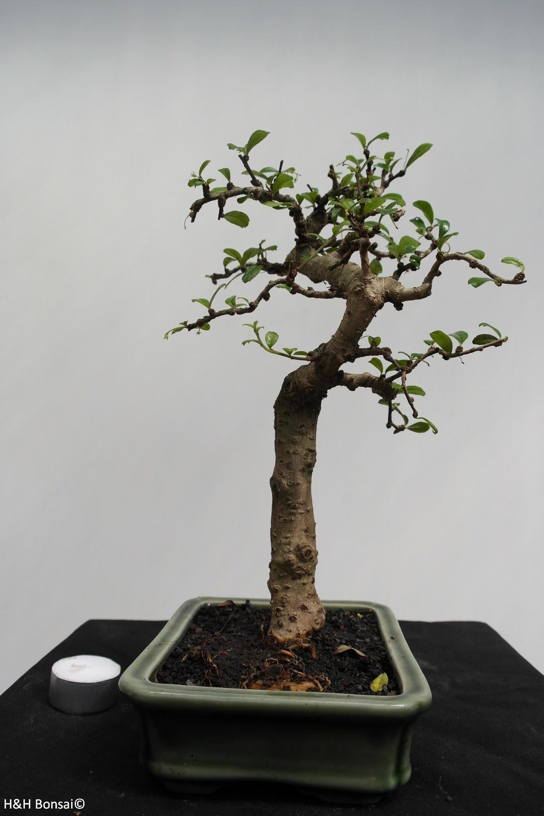 Bonsai Arbre à thé,Carmona macrophylla, no. 7865