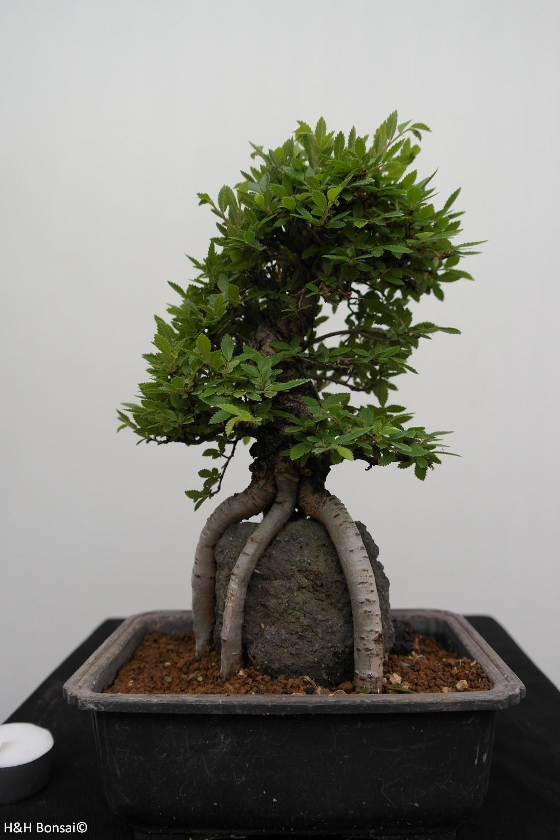 Bonsai Zelkova nire, no. 7347