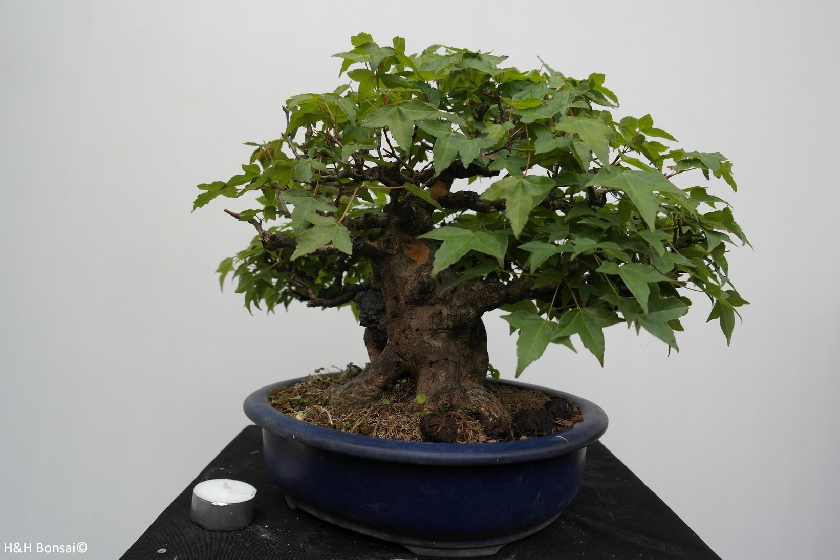 Bonsai Trident Maple, Acer buergerianum, no. 7513A