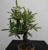 Bonsai Firethorn, Pyracantha, no. 7525