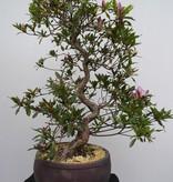 Bonsai Azalea Satsuki Shisen, no. 7658