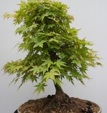 Bonsai Erable du Japon, Acer palmatum, no. 7764