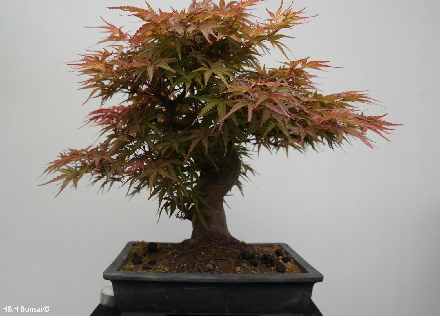 Bonsai Erable du Japon, Acer palmatum, no. 7767