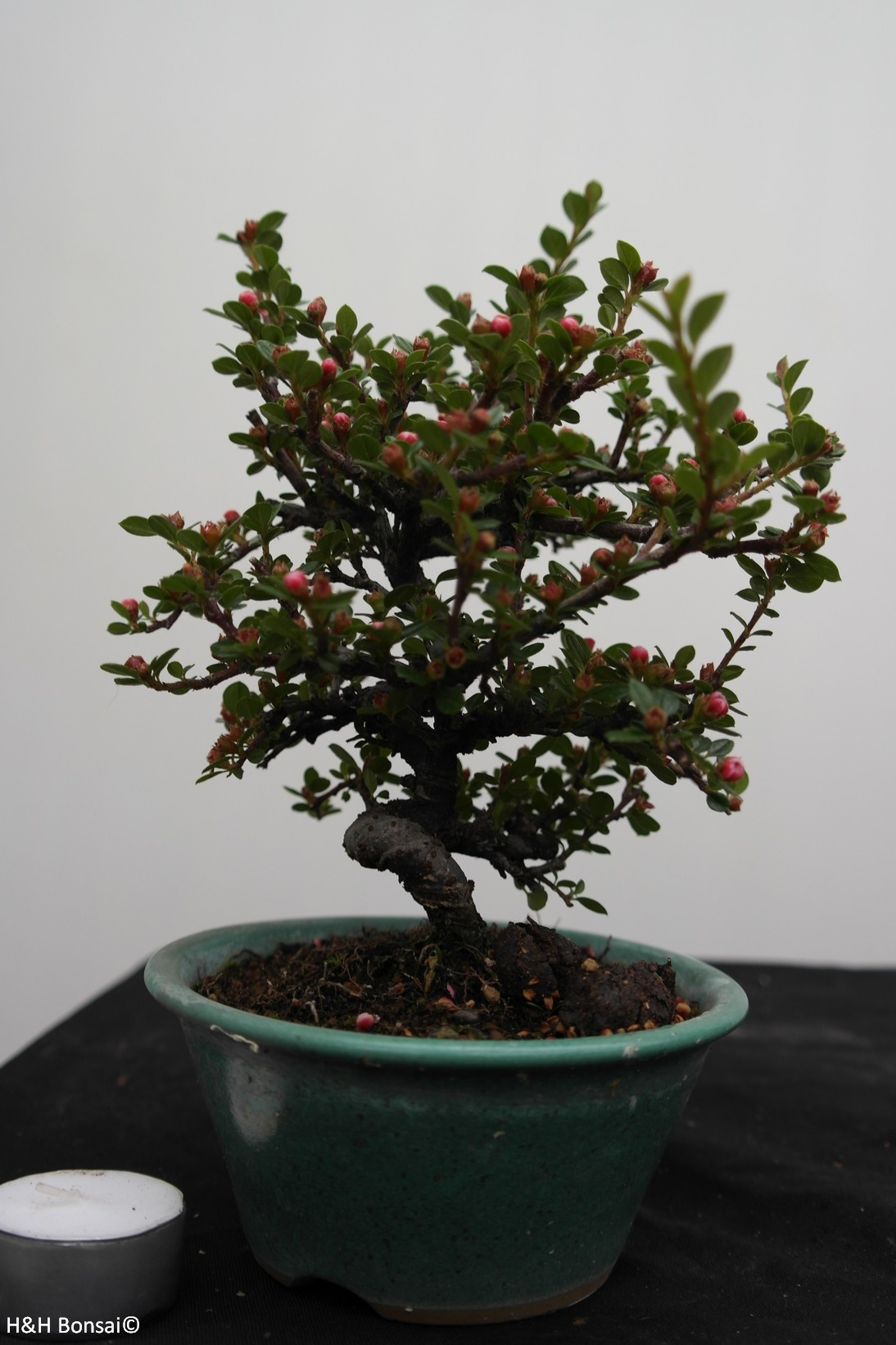 Bonsai Shohin Cotoneaster, no. 7772