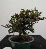 Bonsai Shohin Cotonéaster, Cotoneaster, no. 7773