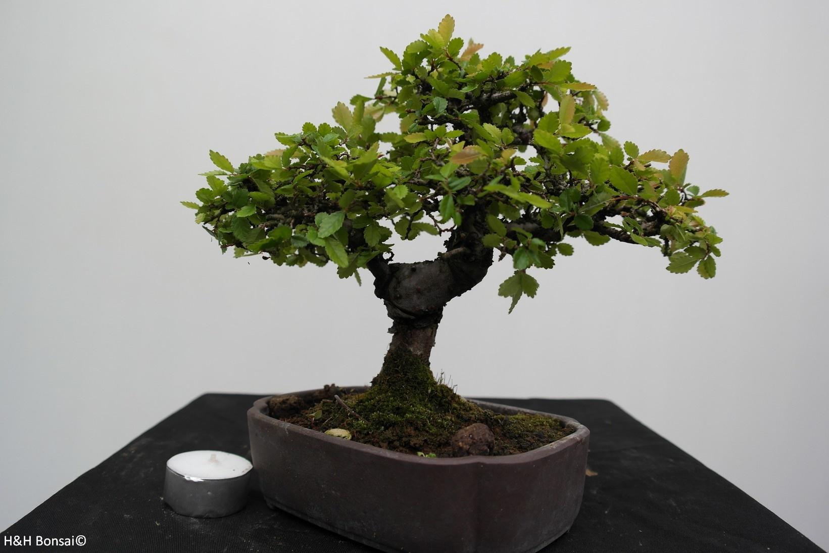 Bonsai Shohin Zelkova, no. 7778
