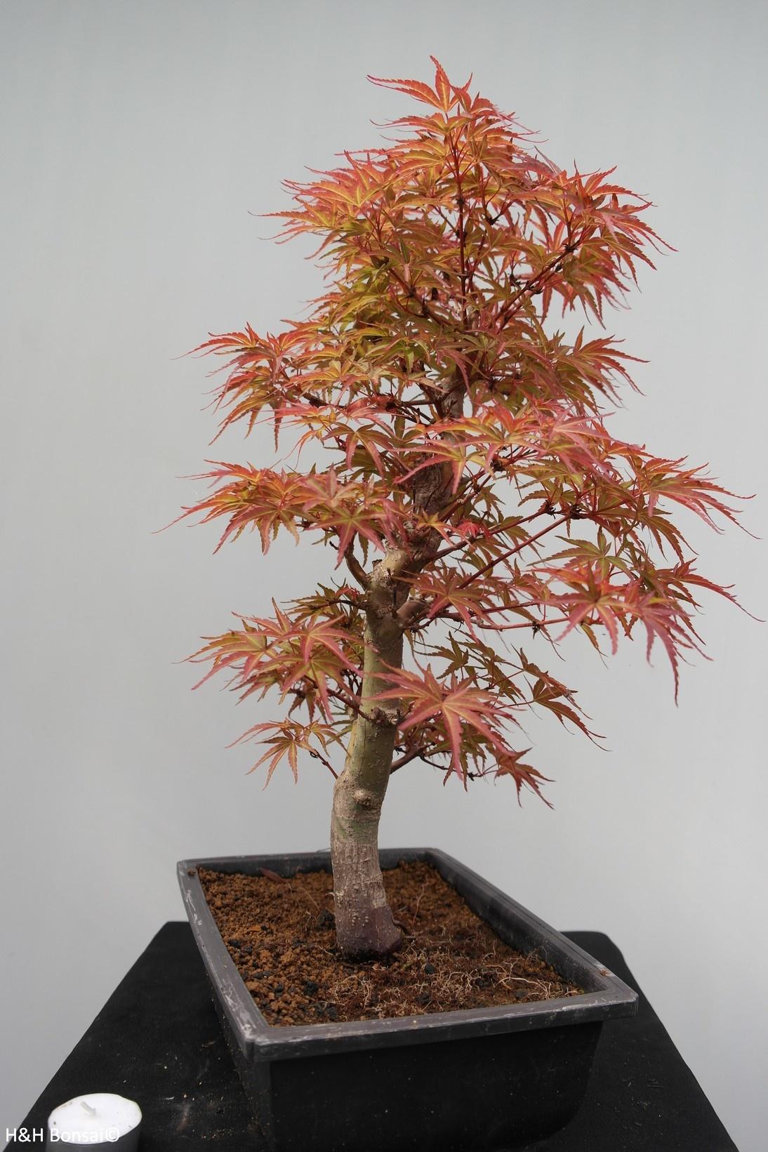 Bonsai Japanese Maple, Acer palmatum, no. 7753