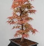 Bonsai Erable du Japon, Acer palmatum, no. 7753