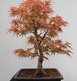Bonsai Japanese Maple, Acer palmatum, no. 7755