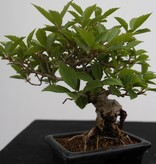 Bonsai Shohin Forsythia, no. 7517