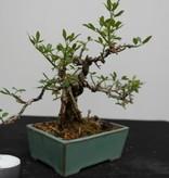 Bonsai ShohinJasmin d'hiver jaune, Jasminum nudiflorum, no. 7528