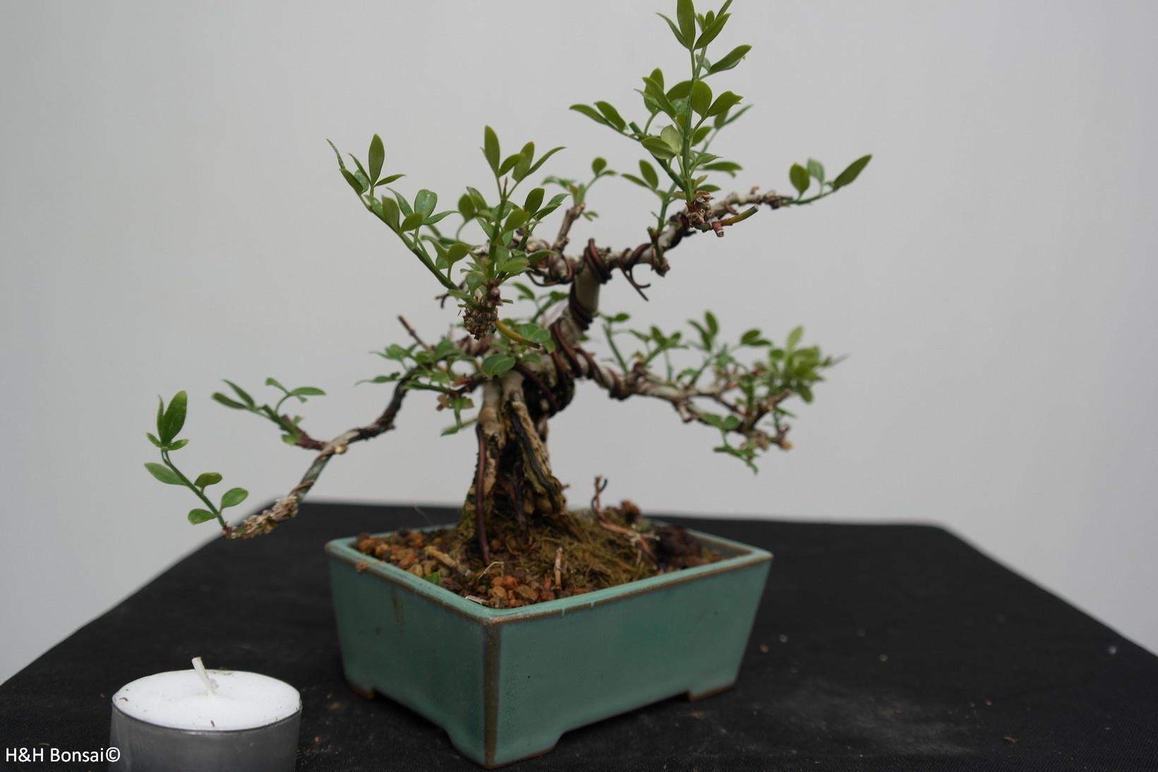 Bonsai ShohinWinter jasmine, Jasminum nudiflorum, no. 7528