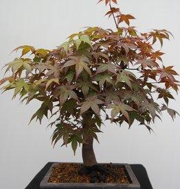 Bonsai Japanese Red maple, Acer palmatum deshojo, no. 7652