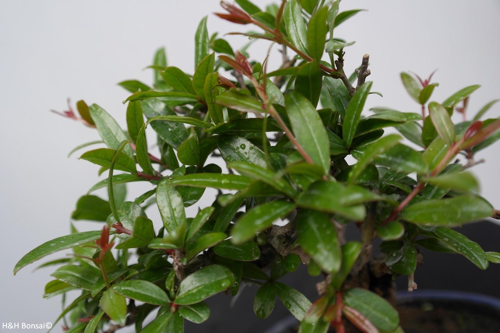Bonsai Shohin Pomegranate, Punica granatum, no. 7770