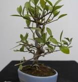 Bonsai Shohin Jasmin du Cap, Gardenia jasminoides, no. 7774