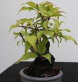Bonsai Shohin Abricotier du Japon, Prunus mume, no. 7779