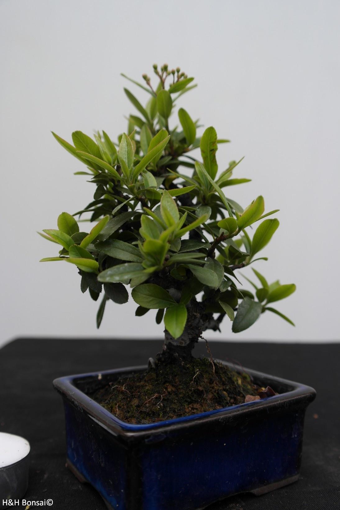 Bonsai Shohin Buisson ardent,Pyracantha, no. 7784
