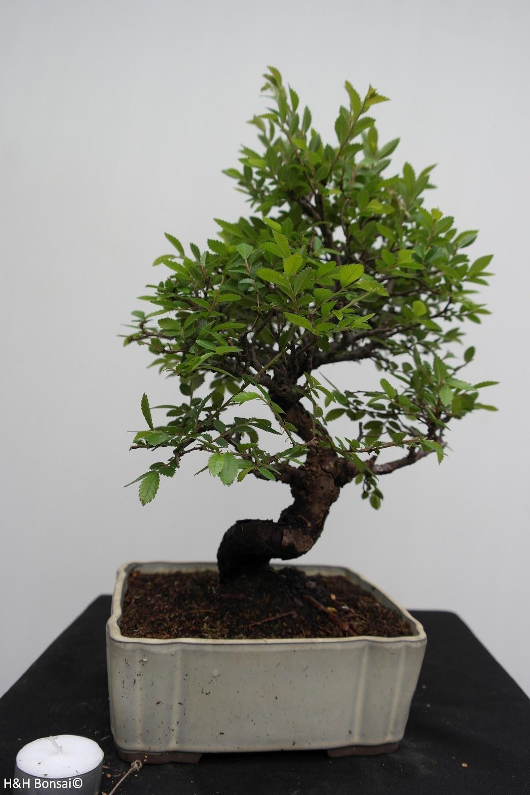 Bonsai Zelkova nire, no. 7794