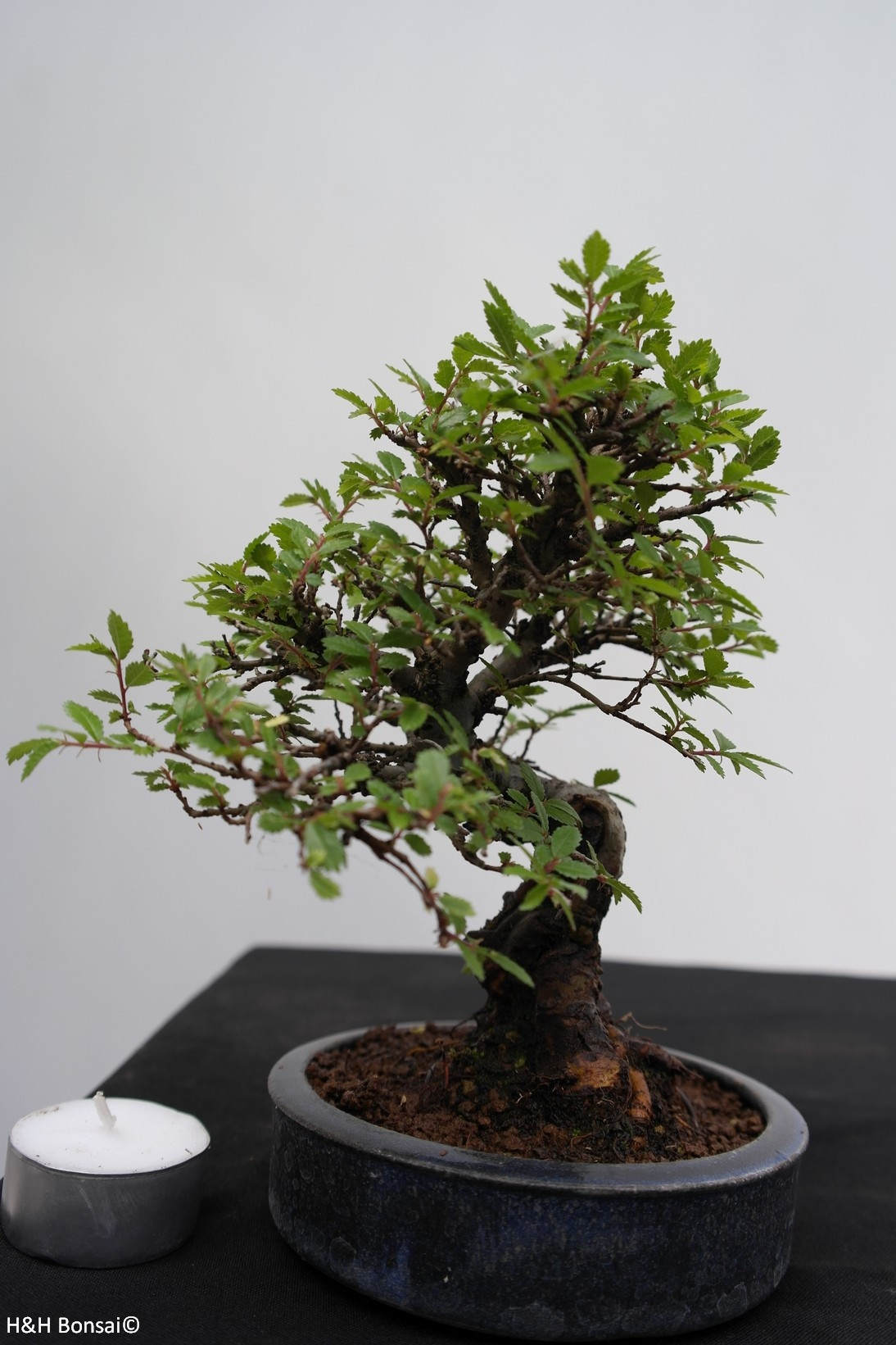 Bonsai Shohin Zelkova nire, no. 7797