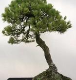 Bonsai Pin blanc du Japon, Pinus parviflora, no. 5258