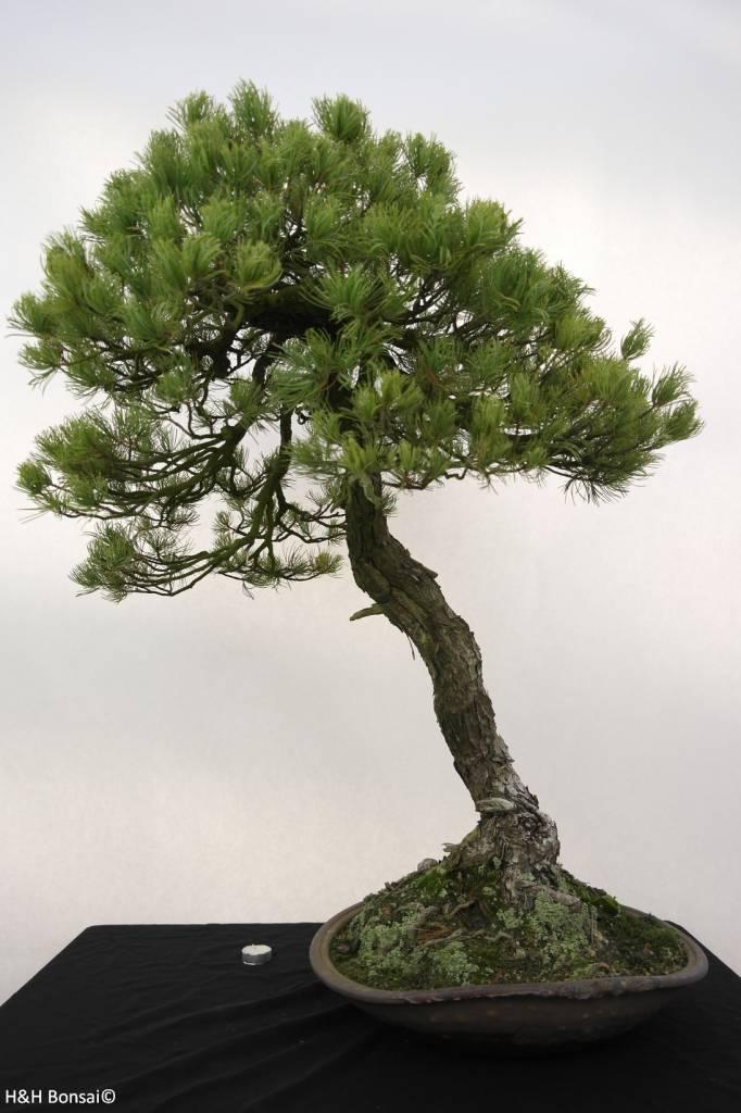Bonsai White pine, Pinus parviflora, no. 5258