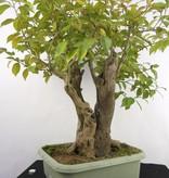 Bonsai Camélia du Japon, Camellia japonica, no. 5279