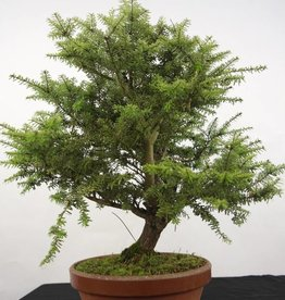 Bonsai Tsuga diversifolia, no. 5280