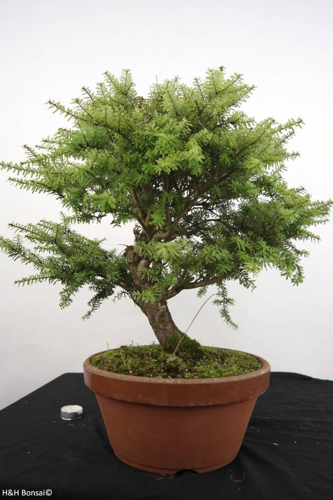 Bonsai Northern Japanese Hemlock, Tsuga diversifolia, no. 5280