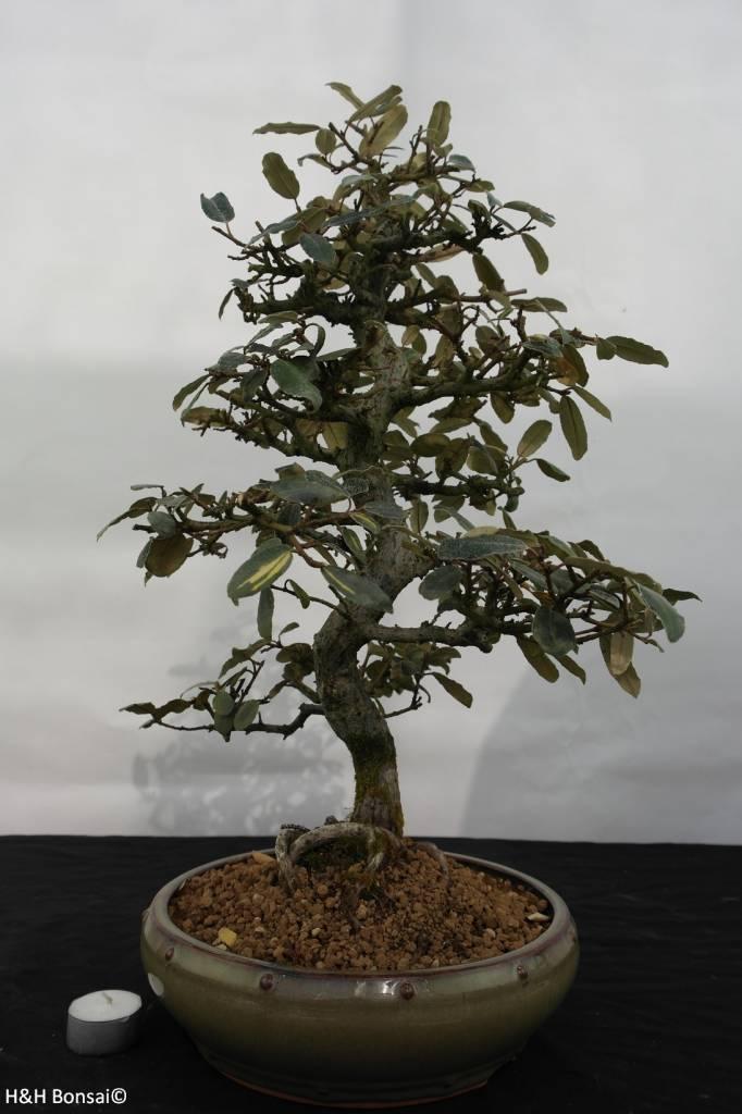 Bonsai Elaeagnus, no. 5525