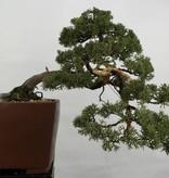 Bonsai Chinese Juniper, Juniperus chinensis, no. 5540