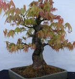 Bonsai Japanese Maple, Acer palmatum, no. 5288