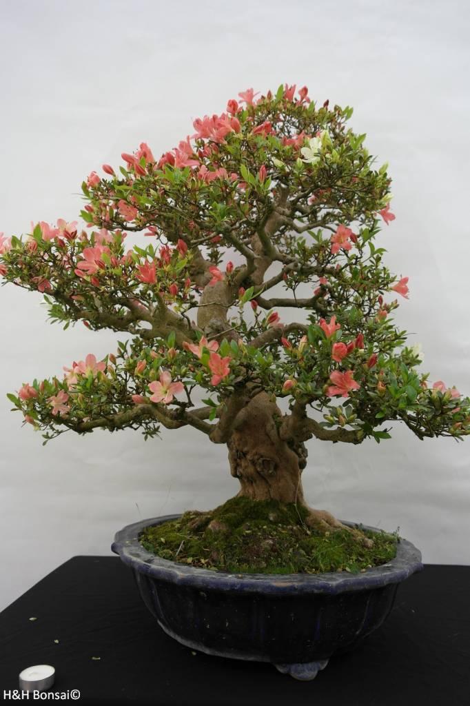Bonsai Azalée du Japon, Azalea Satsuki Shinkyo, no. 5684