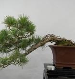 Bonsai Japanese White Pine, Pinus pentaphylla, no. 5759
