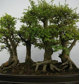 Bonsai Zelkova, forest, no. 5783