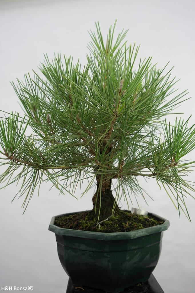 Bonsai Japanese Black Pine, Pinus thunbergii, no. 5822