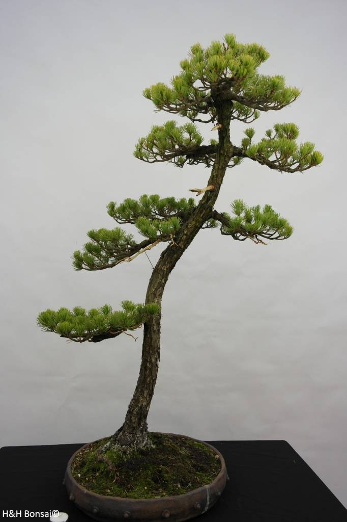 Bonsai Pin blanc du Japon, Pinus pentaphylla, no. 5838