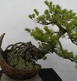 Bonsai Japanese White Pine, Pinus pentaphylla, no. 5841