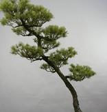 Bonsai Japanese White Pine, Pinus pentaphylla, no. 5842