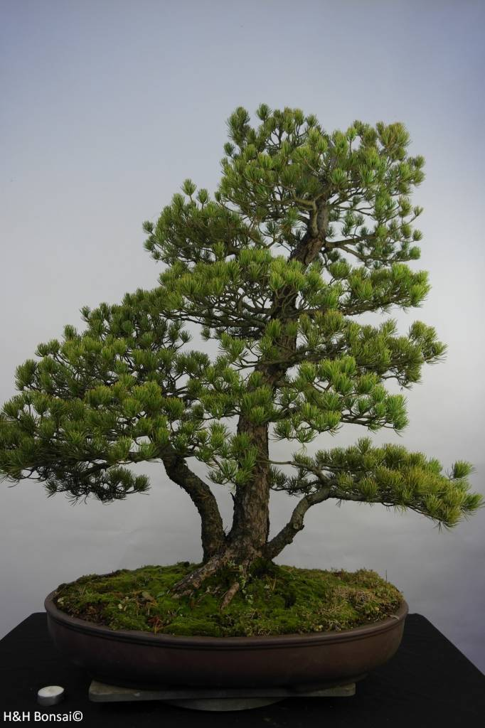 Bonsai Japanese White Pine, Pinus pentaphylla, no. 5844