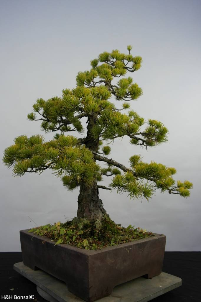 Bonsai Japanese White Pine, Pinus pentaphylla, no. 5845