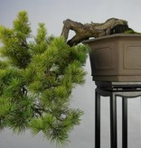 Bonsai Japanese White Pine, Pinus pentaphylla, no. 5848