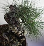 Bonsai Shohin Pin noir du Japon, Pinus thunbergii, no. 5849