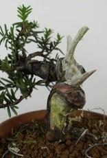 Bonsai Japanese yew, Taxus cuspidata, no. 6018