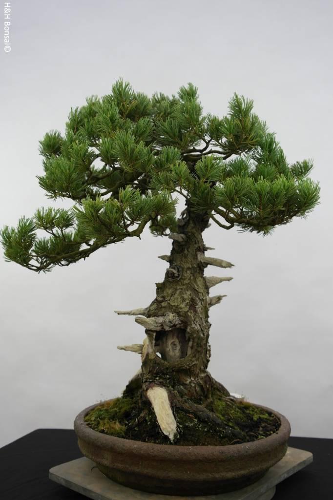 Bonsai Japanese White Pine, Pinus penthaphylla, no. 5502