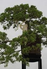 Bonsai Chinese Juniper, Juniperus chinensis, no. 5798