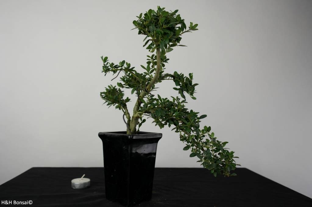 Bonsai Japanese Holly, Ilex crenata, no. 6382