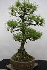 Bonsai Japanese Black Pine, Pinus thunbergii, no. 6431