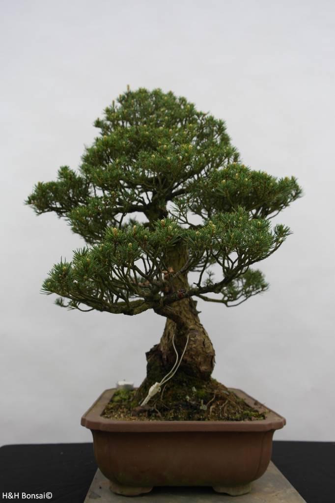 Bonsai White pine kokonoe, Pinus parviflora kokonoe, no. 6436